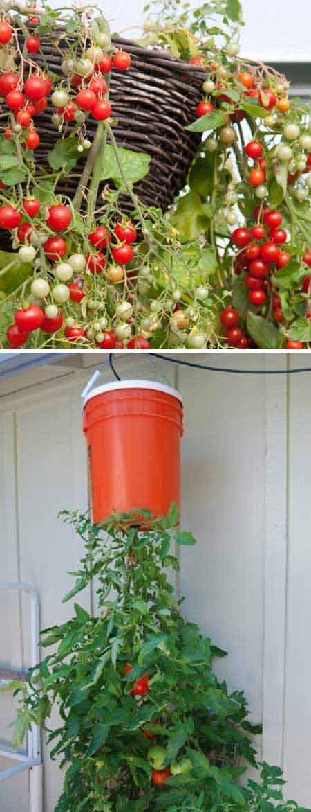 Top 26 exciting ideas to grow potted veggies and fruits - Can a plant grow upside down ...