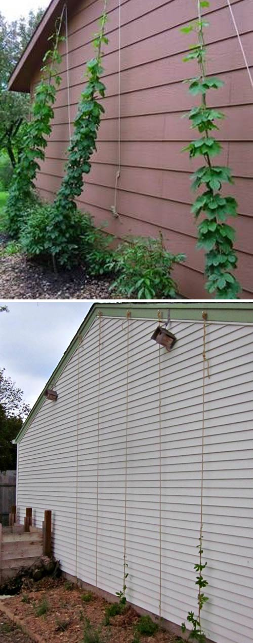 Growing Hops Against a Wall