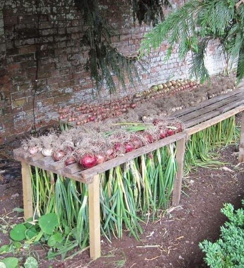How to Harvest Onions