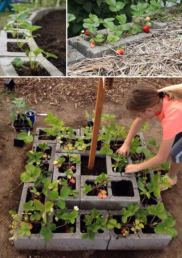 Grow strawberry plants in cinder blocks