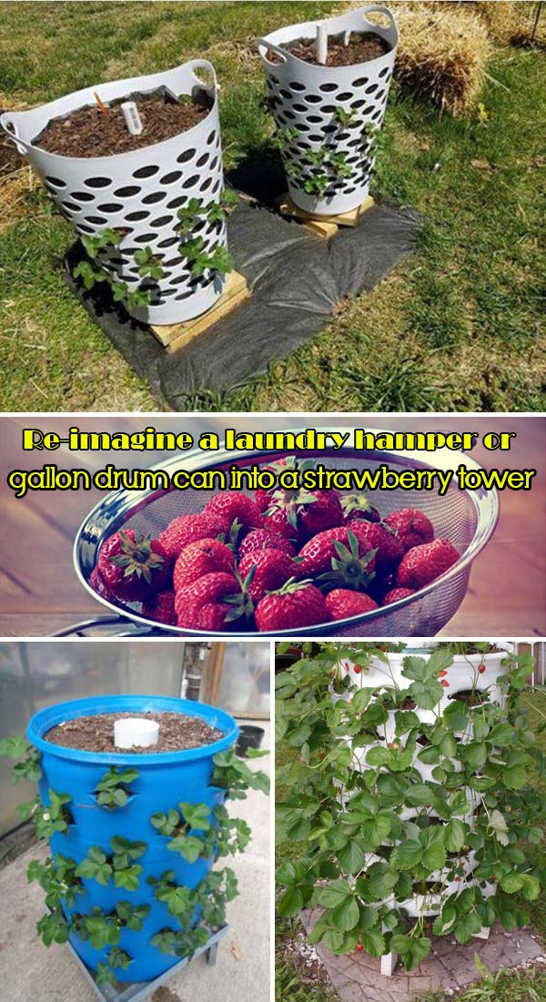laundry hamper or gallon drum can strawberry planter