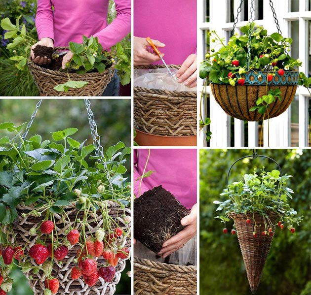 hanging baskets for growing strawberries