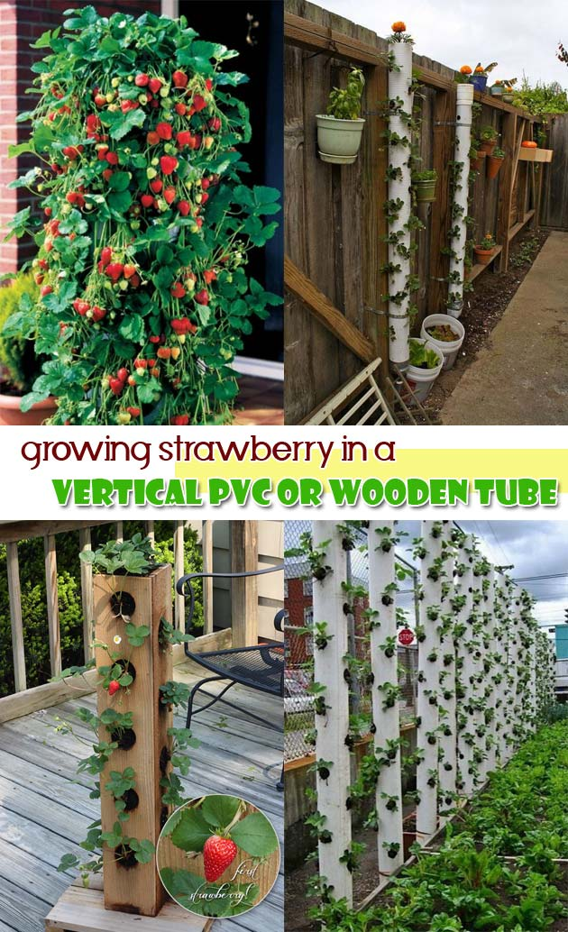 Growing strawberry in a vertical PVC or wooden tube